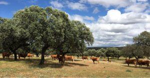 lumusinas cows
