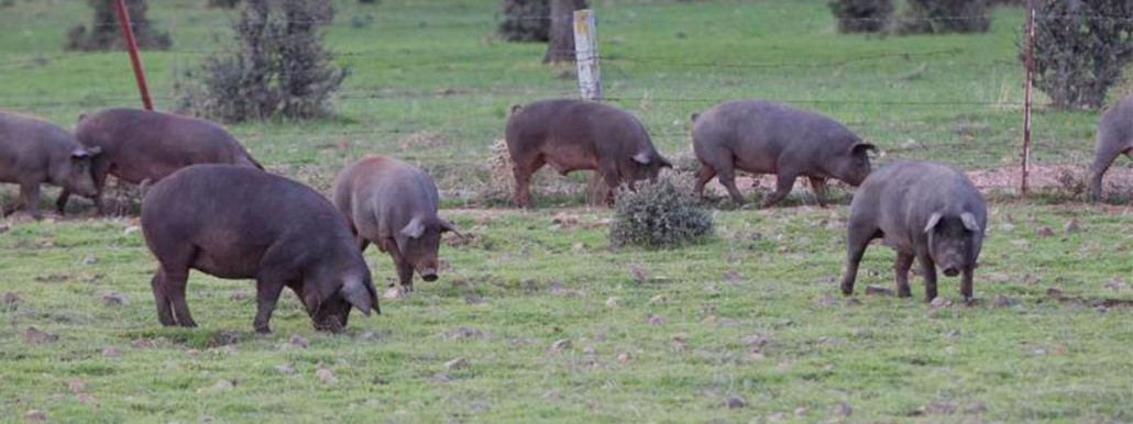 Cerdo-ibérico-abrasador