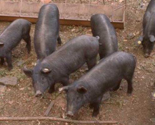 Cerdo ibérico en periodo de adptación al campo