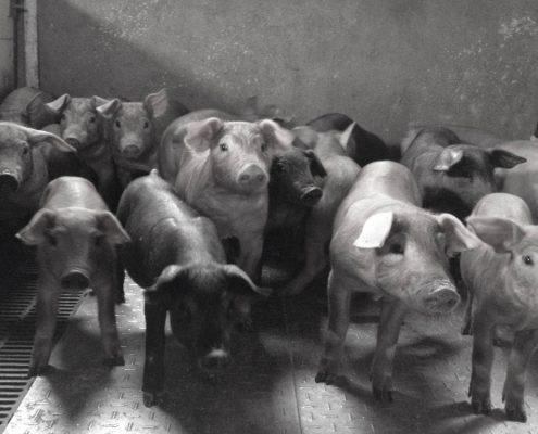 Suckers Iberian pig Abrasador