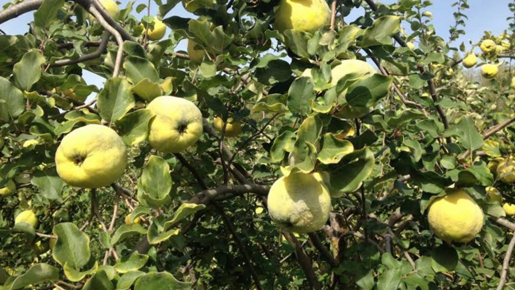 Fruit of great importance in Carcabuey, quince