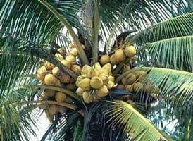 Coconut tree with coconuts to extract the shell