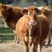 Vacas Abrasador