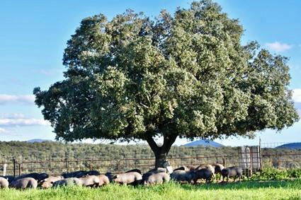 Cerdo ibérico de cebo de campo Abrasador