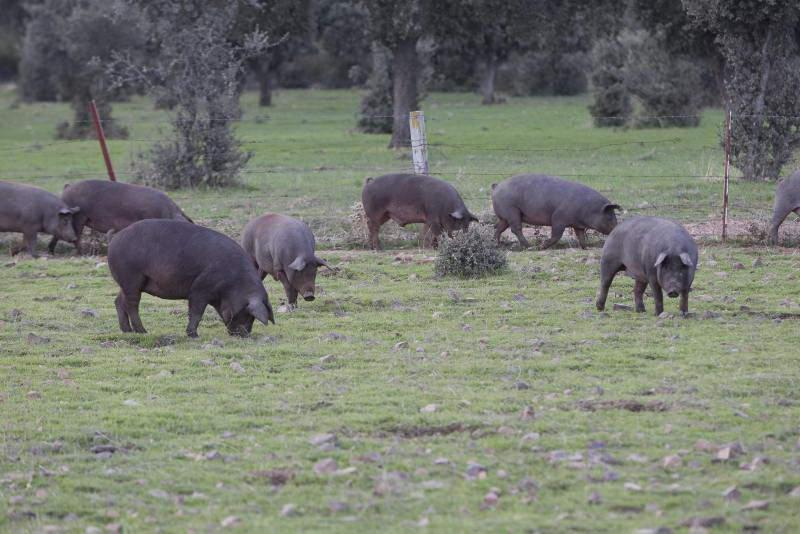 Cerdo Ibérico de cebo de campo Abrasador de crianza propia
