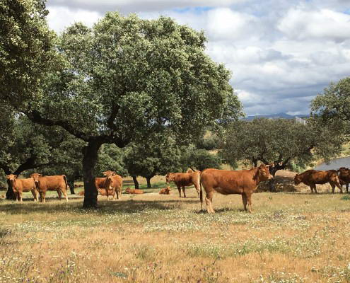 Photo cattle